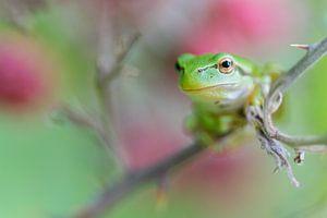 Natuur | Boomkikker tussen onrijpe bramen