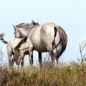 Konik horses van Jon Houkes