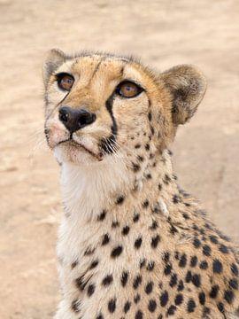 cheetah, wat vliegt daar ? van Leo van Maanen