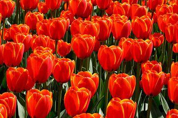 Rode Tulpen van