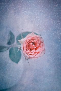 Winterrose von Claudia Moeckel