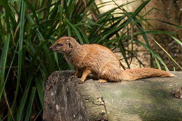 Cosmongoose : Parc animalier d'Amersfoort sur Loek Lobel