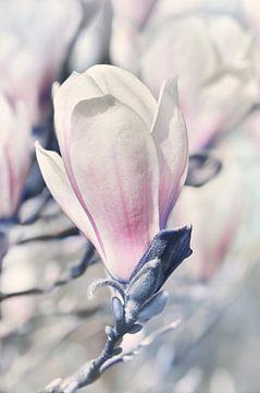 Magnolie sur Violetta Honkisz