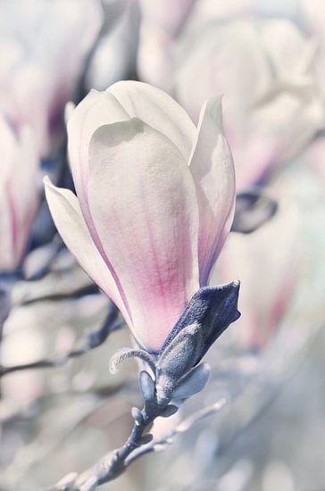 Magnolie van Violetta Honkisz