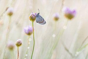 heideblauwtje op engels gras