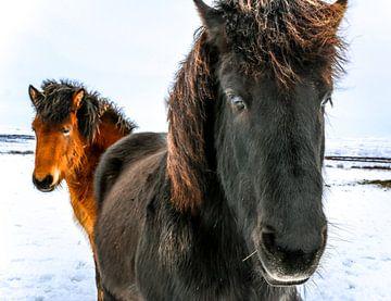 IJslandse paarden von Jo Pixel