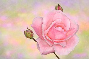 Roze roos