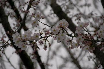 Sakura von Ingrid de Vos - Boom