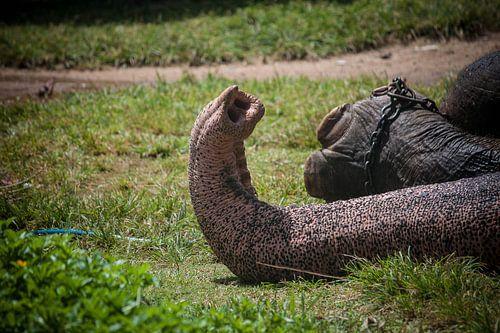 olifantenslurf, Sri Lanka van Rony Coevoet