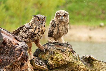 Twee wilde Oehoes staan op een boomstronk, oranje ogen kijken je aan, volwassen en een 2 maand oude  van Gea Veenstra