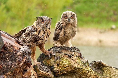 Twee wilde Oehoes staan op een boomstronk, oranje ogen kijken je aan, volwassen en een 2 maand oude