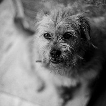 Terrier in zwartwit van Bart van der Borst