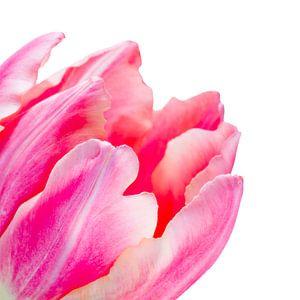 Detail van een fel roze tulp met lichte achtergrond van