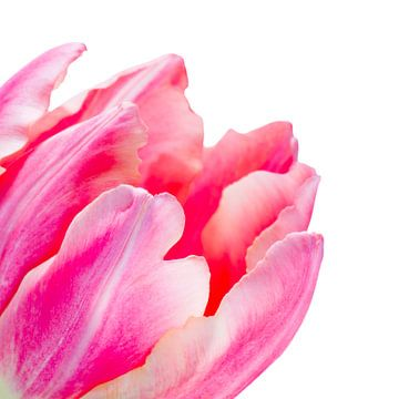 Detail van een fel roze tulp met lichte achtergrond sur Judith Spanbroek-van den Broek