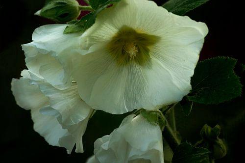 Bloemen, de stokroos in Wit
