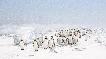 Königspinguine im Schnee von Jos van Bommel