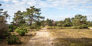 Een zandpad langs naaldbomen en graslandschap op de Hoge Veluwe van MICHEL WETTSTEIN