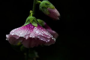 Stokroos in de de regen
