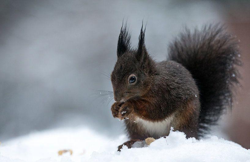 Squirrel in the snow van Mark Zanderink