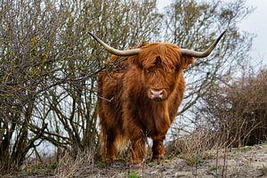 Schottischer Highlander von Michel Heerkens