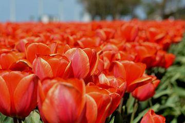 Tulpen veld, Rood