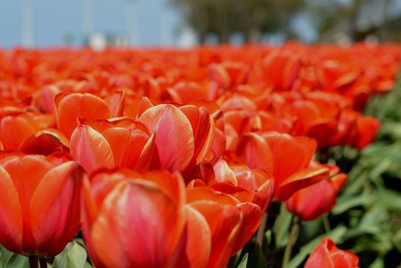Tulpen veld, Rood van Patricia Leeman