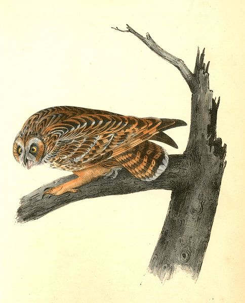 Uil, Short-eared Owl., Audubon, John James, 1785-1851 van Liszt Collection