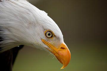 Amerikanischer Seeadler 2 von Tanja van Beuningen