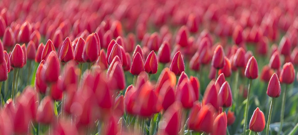 Early Morning Tulips Red closed van Alex Hiemstra