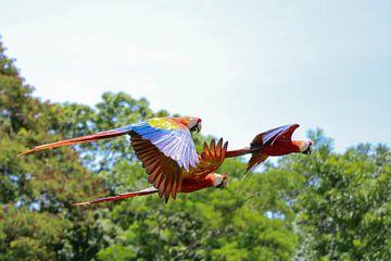 Papegaaien in Tikal (Guatemala) van Frank Smetsers