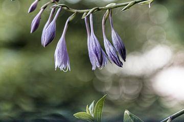 Blume XVIII - Funkie von
