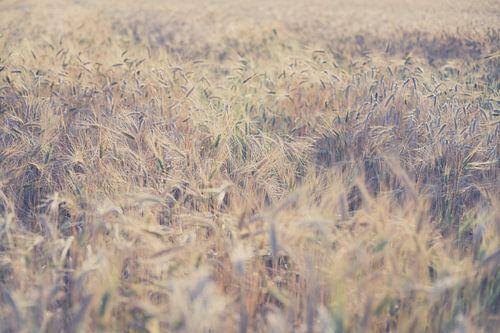 Bloeiende tarwe aan het einde van de zomer