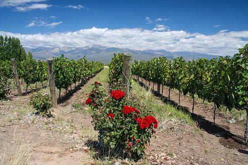 Rozen in wijngaard bij Mendoza in Argentinië