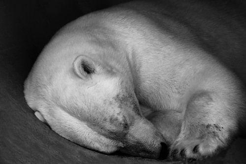 Schone slaapster, ijsbeer.