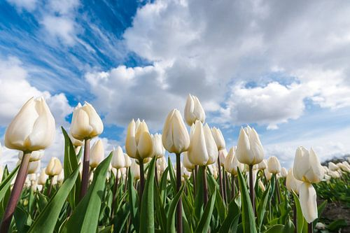 Witte tulpen onder de Hollandse wolkenlucht