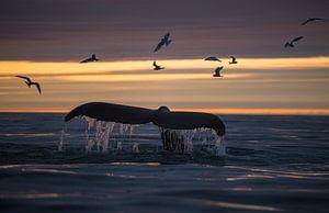 Midzomernacht, vaak de mooiste momenten om walvissen te spotten. van Koen Hoekemeijer