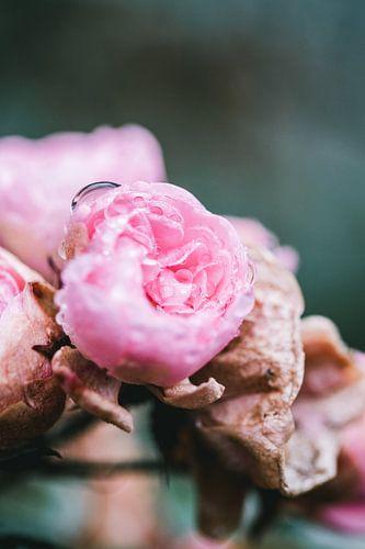 Roze rozen in de ochtend dauw
