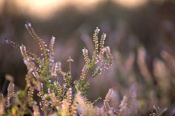 Blühende lila Heidekrautblüten mit Sonnenaufgang von Karijn | Fine art Natuur en Reis Fotografie