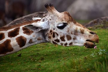Giraffe van Sjoerd Reitsma