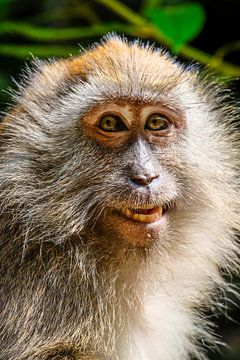 Portrait einer Affendame von pixxelmixx