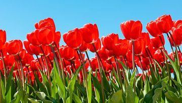 Rode tulpen, blauwe lucht van Jenco van Zalk