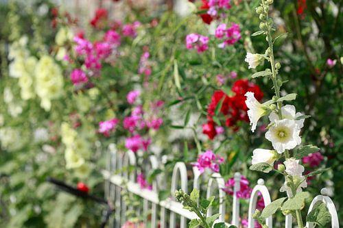 Stockmalven, Stockmalve, Stockrose, Blume, Blüte, Zaun, Gartenzaun, bunt