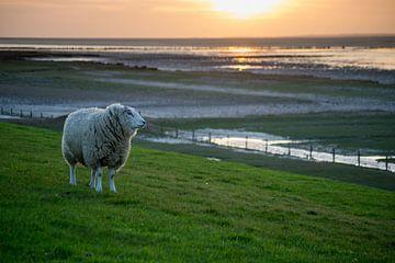 """""""De Wachter"""", schaap (Texelaar) op de dijk bij de Waddenzee tijdens zonsondergang von Tim Groeneveld"""