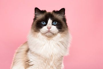 Porträt einer Ragdoll-Katze vor einem rosa Hintergrund von Elles Rijsdijk