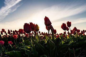 Holländische Tulpen in einem Blumenzwiebelfeld von Linsey Aandewiel-Marijnen