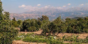 Sinaasappelboomgaard Kreta van Bob de Bruin