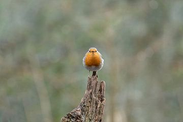 Robin, qui regardes-tu