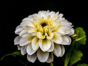 Der Regen hinterlässt seine Tropfen auf der Blüte