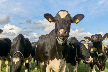 Koeien in het weiland van Ad Jekel