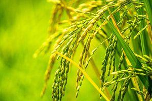 Close-up rijstvelden van